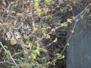 toukaede