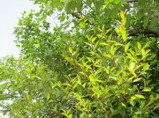tubakimidori